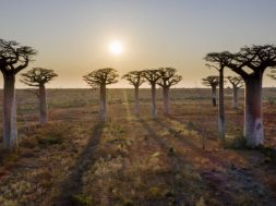 Areial view to the most famous baobab alley in Madagascar