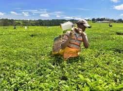 Producers in Biggest Black Tea Exporter Kenya Seek Solar Developers