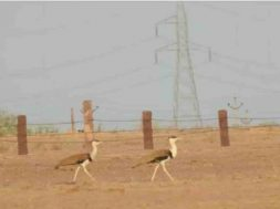 Great Indian Bustard Supreme Court reserves order on plea to save endangered bird, pushes for under-grounding high-voltage power lines